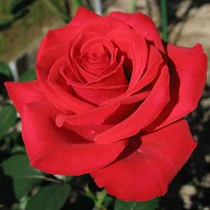Rosa 'Red Parfum' - piros climber, futó rózsa