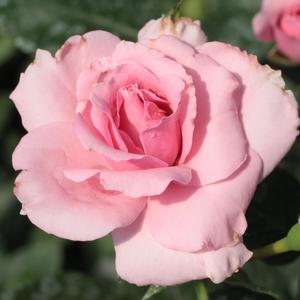 Rosa 'Regéc' - rózsaszín virágágyi floribunda rózsa