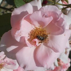 Rosa 'Régen' - Világos rózsaszín virágágyi floribunda rózsa