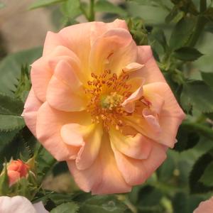 Rosa 'Rift™' - Barackrózsaszín talajtakaró rózsa