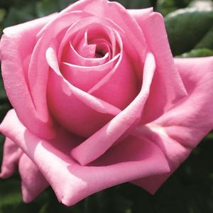 Rosa 'Romina®' - Sötét rózsaszín nosztalgia rózsa