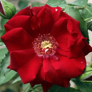 Rosa 'Roter Korsar ®' - vörös parkrózsa