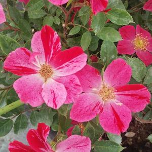 Rosa 'Ruby™' - rubinvörös virágágyi polianta rózsa