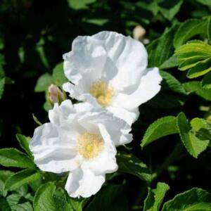 Rosa rugosa 'Alba' – Vadrózsa (fehér)