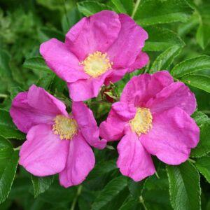 Rosa rugosa 'Rubra' – Japán rózsa