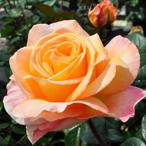 Rosa 'Scented Memory™' - barackszínű teahibrid rózsa