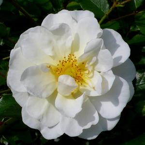 Rosa 'Schneekönigin®' - fehér talajtakaró rózsa