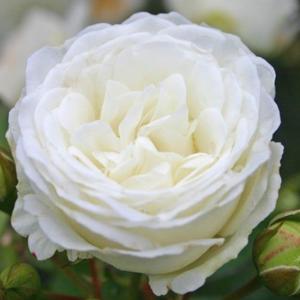 Rosa 'Schneeküsschen ®' - fehér törpe - mini rózsa