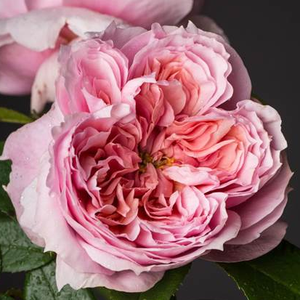 Rosa 'Schöne Maid®' - Halvány rózsaszín nosztalgia rózsa