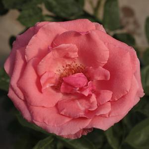 Rosa 'Sebastian Schultheis' – kármin-rózsaszín teahibrid rózsa