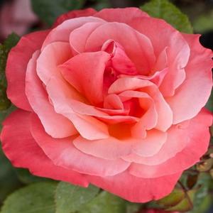 Rosa 'Silver Jubilee' - Rózsaszín, barackos árnyalattal teahibrid rózsa