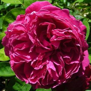 Rosa 'Sir Edward Elgar' - Karmazsinvörös angol rózsa