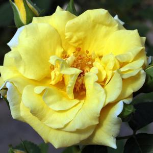 Rosa 'Skóciai Szent Margit' - aranysárga parkrózsa