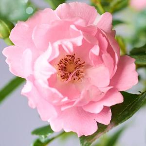 Rosa 'Sommerwind®' - világos rózsaszín talajtakaró rózsa