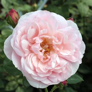 Rosa 'Sonia Rykiel' - rózsaszín nosztalgia rózsa
