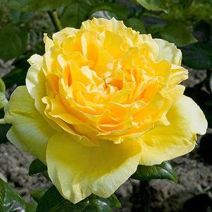 Rosa 'Souvenir de Marcel Proust' - sárga teahibrid rózsa