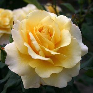 Rosa 'Sunny Sky ®' - mézsárga teahibrid rózsa