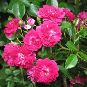 Rosa 'Super Excelsa' – sötét rózsaszín, fehér központtal rambler, kúszó rózsa
