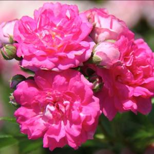 Rosa 'Superb Dorothy' - Rózsaszín rambler, kúszó rózsa