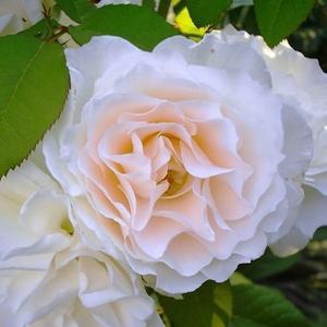 Rosa 'Sweet Blondie' - krémfehér virágágyi floribunda rózsa