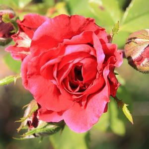 Rosa 'Szaffi' - Bársonyos, sötét, meggypiros climber, futó rózsa