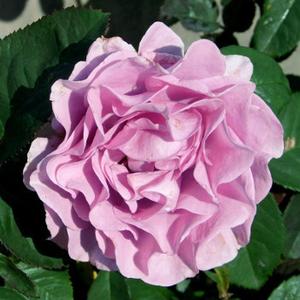 Rosa 'Terra Limburgia' - Lilás rózsaszín virágágyi floribunda rózsa