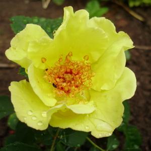 Rosa 'Tibet-Rose' - sárga virágágyi floribunda rózsa