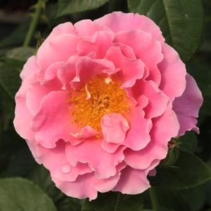 Rosa 'Torockó' - Sötét, lilásrózsaszín climber, futó rózsa