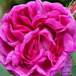 Rosa 'Trompeter von Säckingen' - piros történelmi - régi kerti rózsa