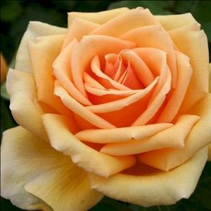 Rosa 'Valencia ®' - borostyánsárga teahibrid rózsa
