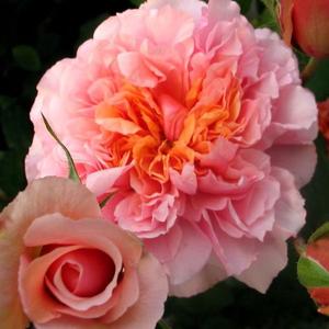 Rosa 'Versigny' - lazacrózsaszín nosztalgia rózsa