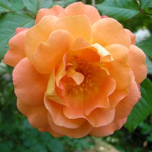 Rosa 'Westerland®' - narancsos barackszínű parkrózsa
