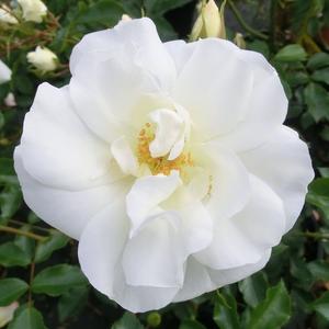 Rosa 'White Flower Carpet' - Fehér talajtakaró rózsa