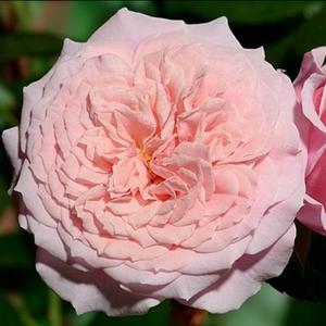 Rosa 'William Christie' - rózsaszín nosztalgia rózsa