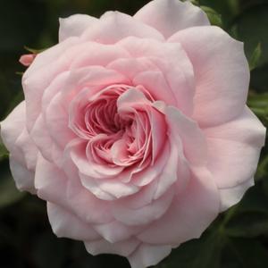 Rosa 'Zemplén' - Rózsaszínnel futtatott fehér talajtakaró rózsa