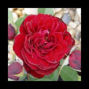 Rosa 'Zenta' - bordó törpe - mini rózsa