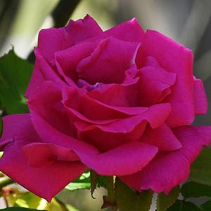 Rosa 'Zéphirine Drouhin' - rózsaszín climber, futó rózsa