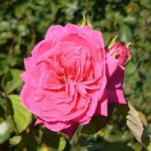 Rosa 'Sidney Peabody' - mély rózsaszín virágágyi grandiflora - floribunda rózsa