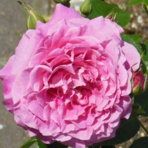 Rosa 'Szent Erzsébet (St. Elisabeth of Hun)' - Rózsaszín termetes rózsa