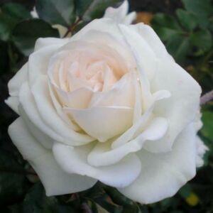 Rosa 'Szent Margit' - fehér vagy halványrózsaszín virágágyi floribunda rózsa