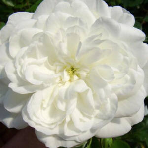 Rosa 'Alba Meillandina' - hófehér talajtakaró rózsa