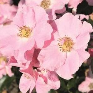 Rosa 'Satin Haze®' - Világos rózsaszín talajtakaró rózsa