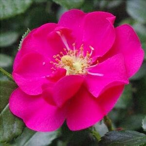 Rosa 'Vanity' - erős rózsaszín, ciklámen talajtakaró rózsa