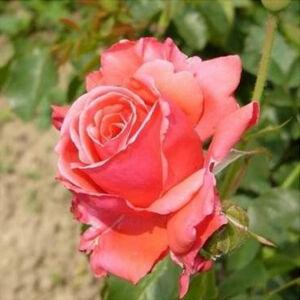 Rosa 'Allégresse' - Piros teahibrid vágó rózsa