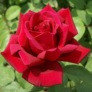 Rosa 'Avon' - Piros, sárga sziromkörömmel - teahibrid vágó rózsa