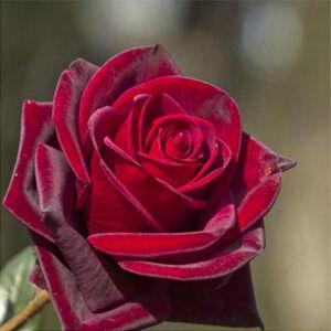 Rosa 'Black Velvet' - sötét piros teahibrid rózsa