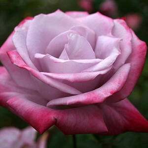 Rosa 'Burning Sky' - Levendula-piros teahibrid rózsa