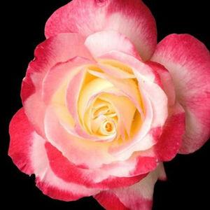 Rosa 'Colourama' - Halványpiros-krémfehér teahibrid rózsa