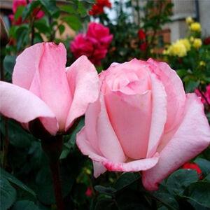 Rosa 'Delset' - halvány rózsaszín teahibrid rózsa