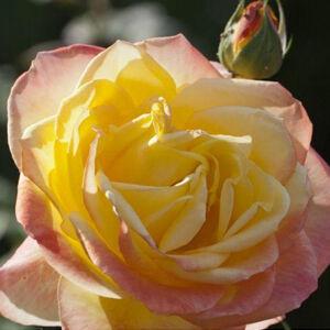 Rosa 'Emeraude d'Or' - Sárga-rózsaszín teahibrid rózsa